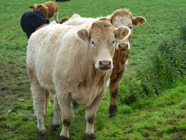 Cattle Gallery
