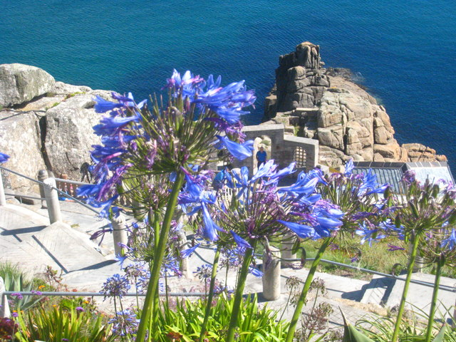 Agapanthus flowers at the Minack Theatre