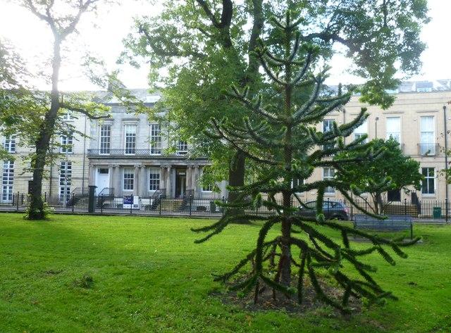 Monkey Puzzle Tree, Hopetoun Crescent Garden