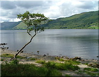 NN6523 : Tree on the south shore of Loch Earn by Dave Fergusson