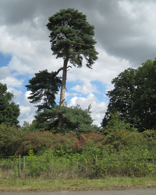 Old Scots Pine formerly in Packington Park