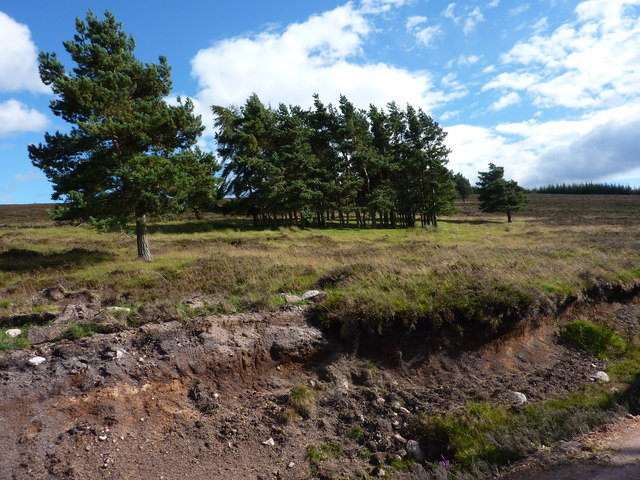 Scots pines on the moor