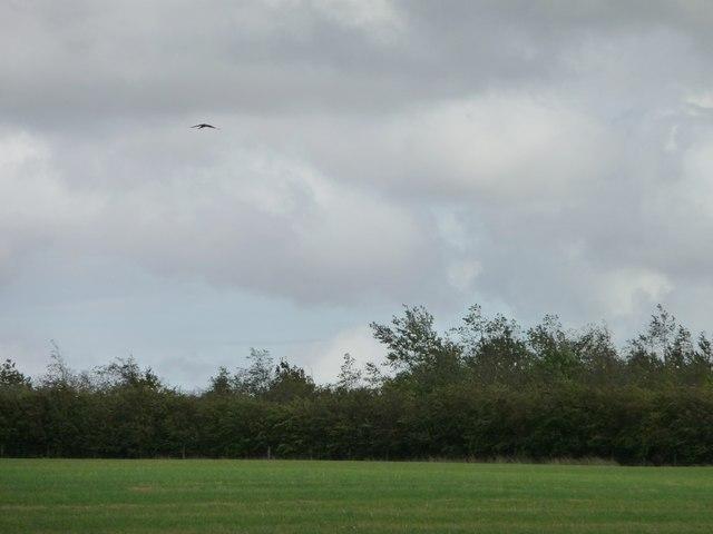 Kestrel hovering above a field, near Common Side Lane