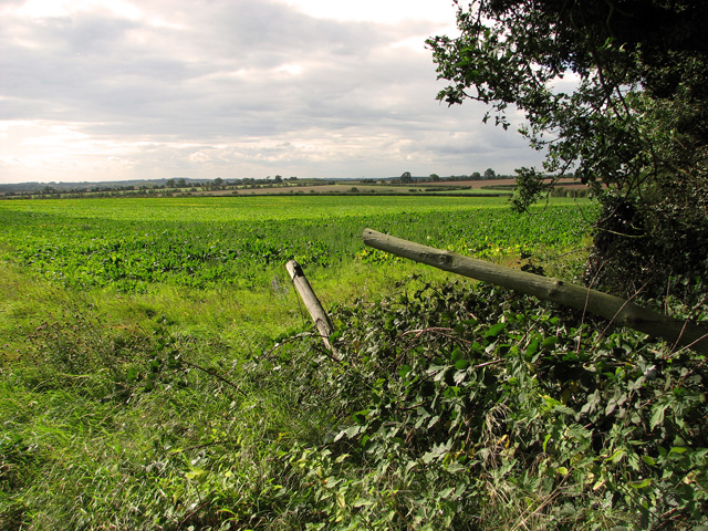 Sugar beet crop west of Green Hill Wood, Gayton