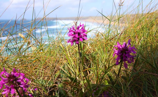 Orchid by the Southwest Coast Path