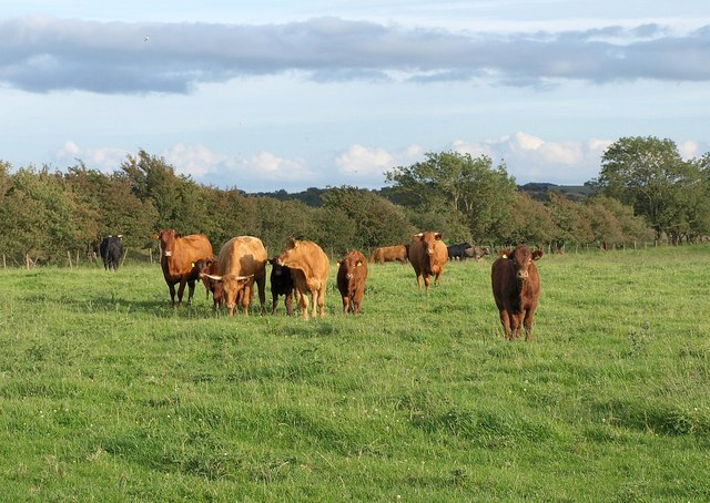 Cattle near Ashridge Farm