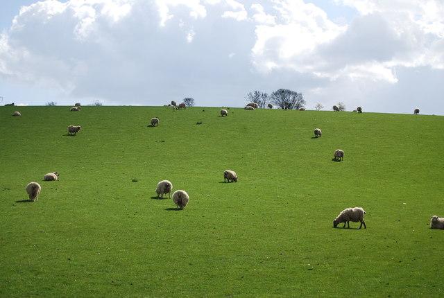 Sheep grazing near Broad Street