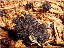NS3977 : A slime mould - Tubifera ferruginosa by Lairich Rig