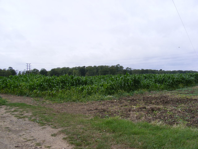 Maize Crop in Easton Lane