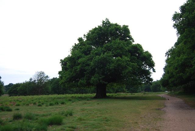 Oak Tree, Richmond Park