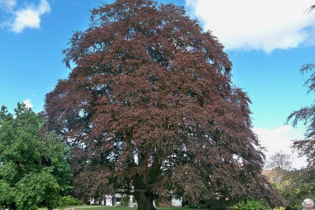 Specimen Tree - Tewkesbury
