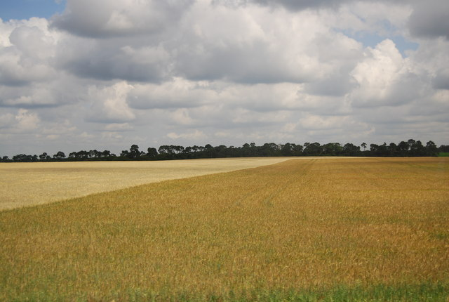 Wheat by the A11