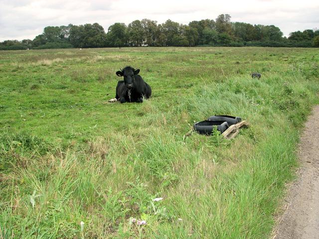 Tethered bullock on Wingfield Green