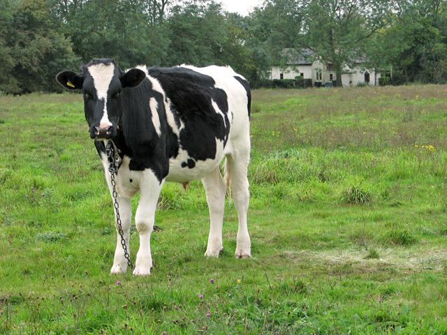 Cattle on Wingfield Green