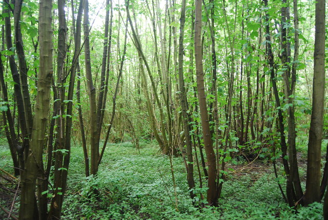 Coppicing in Birling Ashes