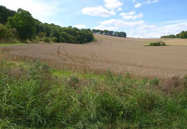 Wheat near Marden