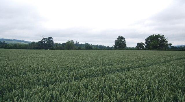 Very large wheat field