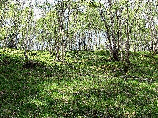 Birch wood, Glen Tilt