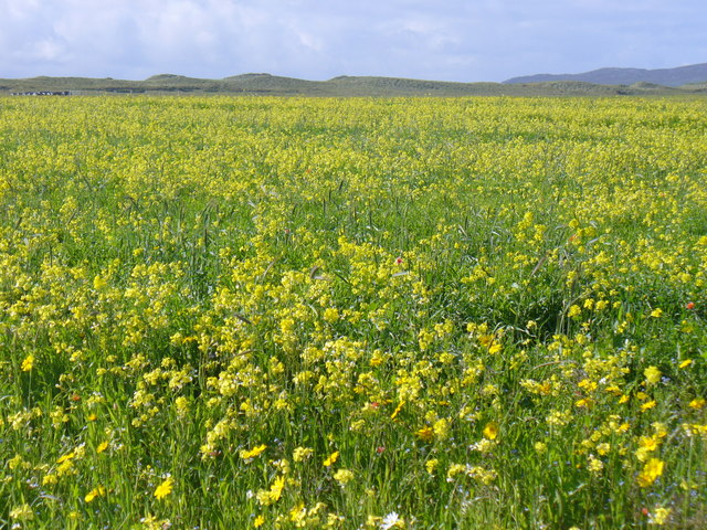 Machair Flowers, Berneray