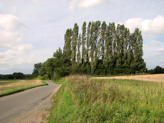 A row of poplars beside Brown's Lane, Holme Hale
