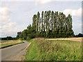 TF8707 : A row of poplars beside Brown's Lane, Holme Hale by Evelyn Simak