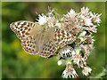 TQ2238 : Silver-washed Fritillary butterfly, form valesina by Robin Webster