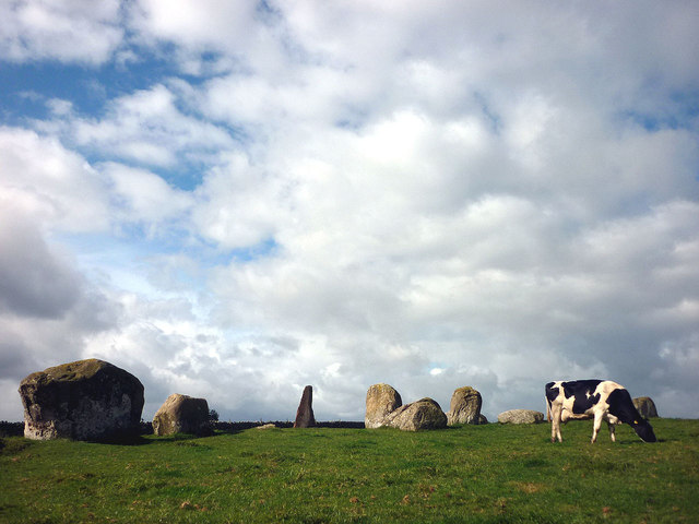 A cow grazing at the Long Meg circle