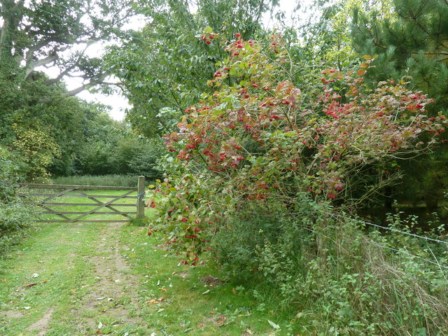 Guelder Rose shrub by the footpath diversion around Chailey Moat