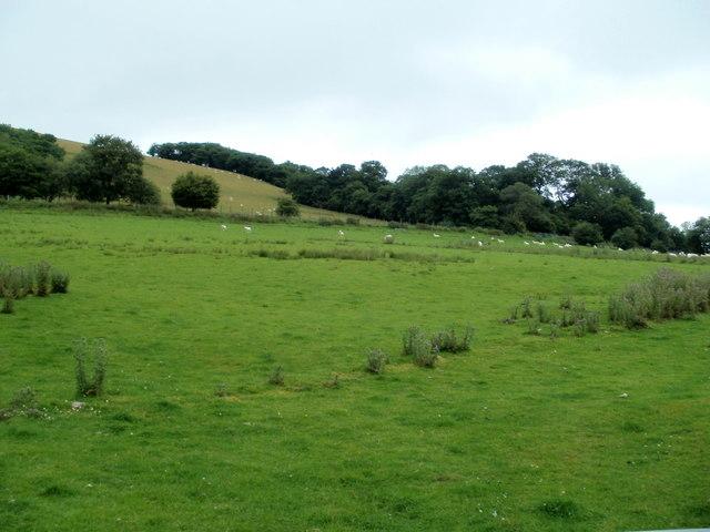 Sheep grazing near Nantmadog Farm