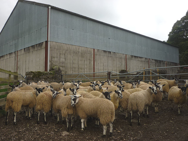 Mule lambs at Brownber