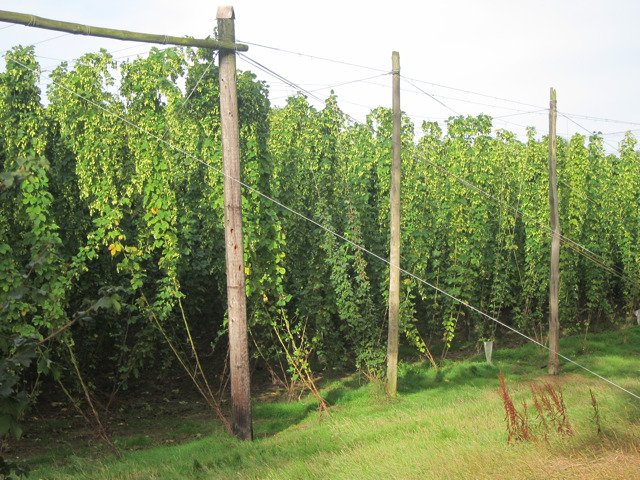 Hop fields by Hope House Lane