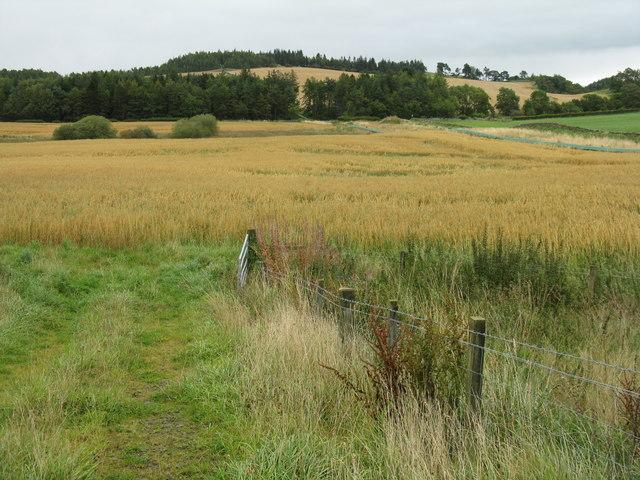 Oat field near Outerston