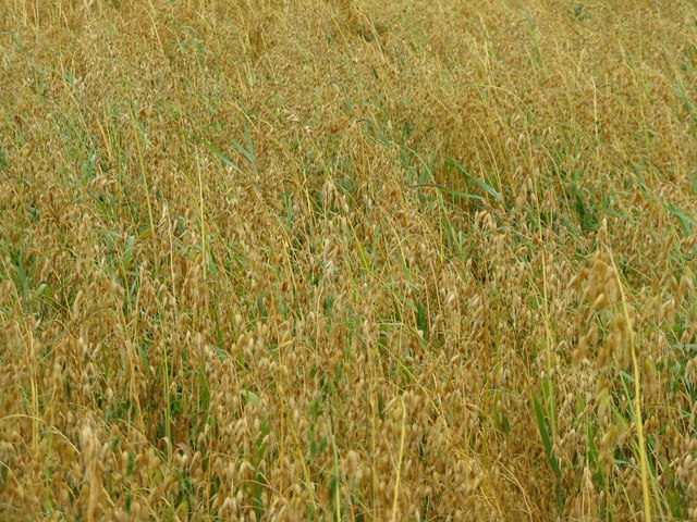 Oats at Outerston