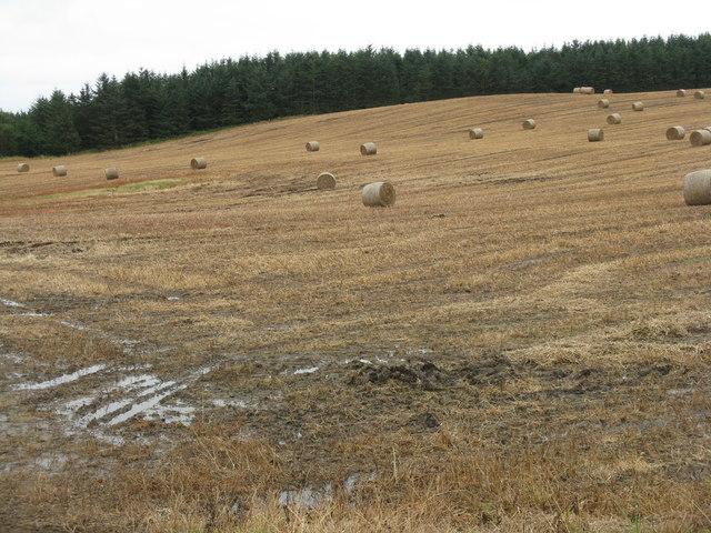 Wet harvest at Castleton