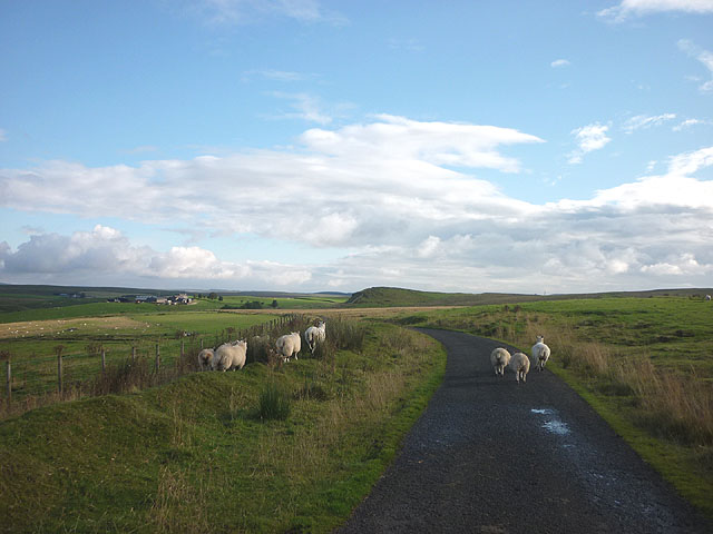Sheep on the road near Low Old Shields