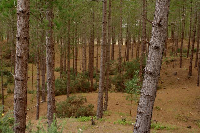 Trees, Newborough Forest