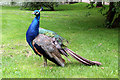 TQ8353 : Peacock, Leeds Castle, Kent by Christine Matthews