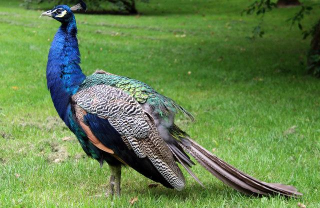 Peacock, Leeds Castle, Kent