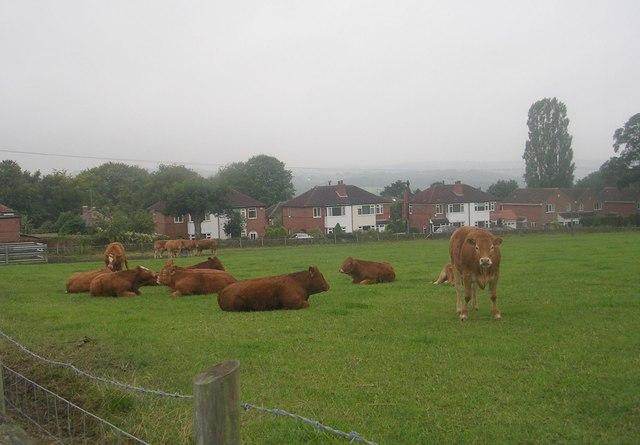 Cattle grazing - off Knott Lane