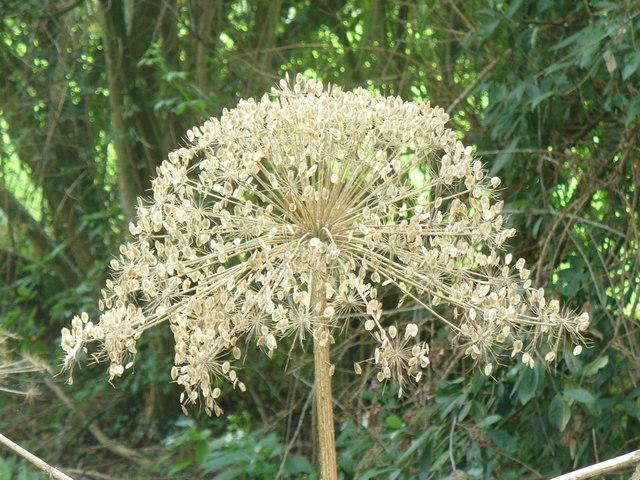 Giant Hogweed Lacecap