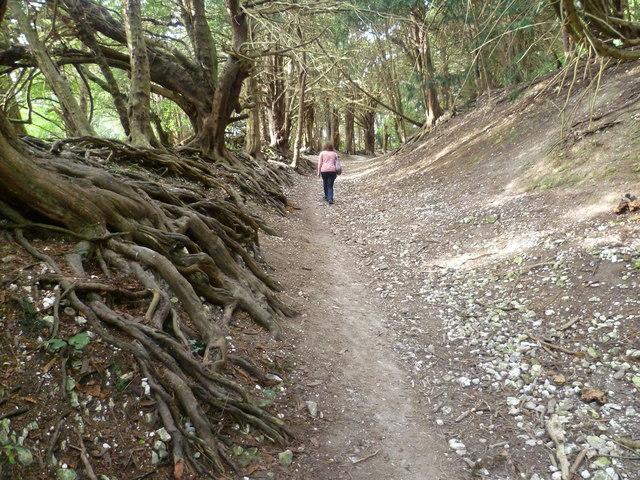 Ancient yews in Boxley Warren