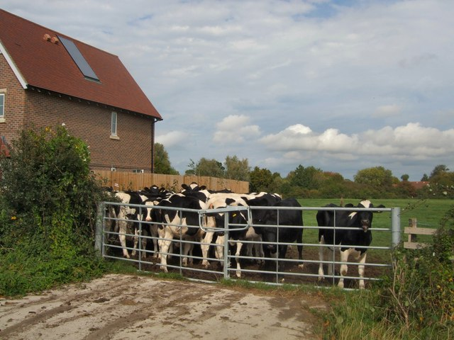 Cattle at Rushy Green