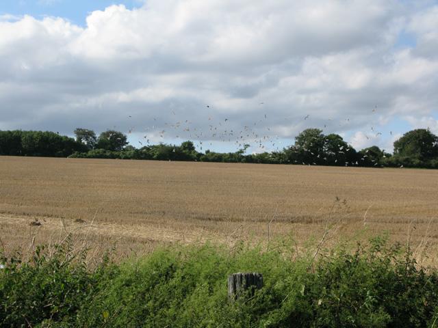 Gulls in a field near Thornton Lane