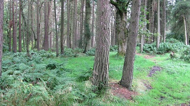 Conifer woodland, Beecraigs