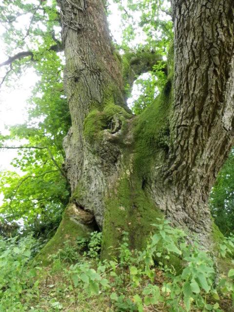 Common Oak, Fonthill Park