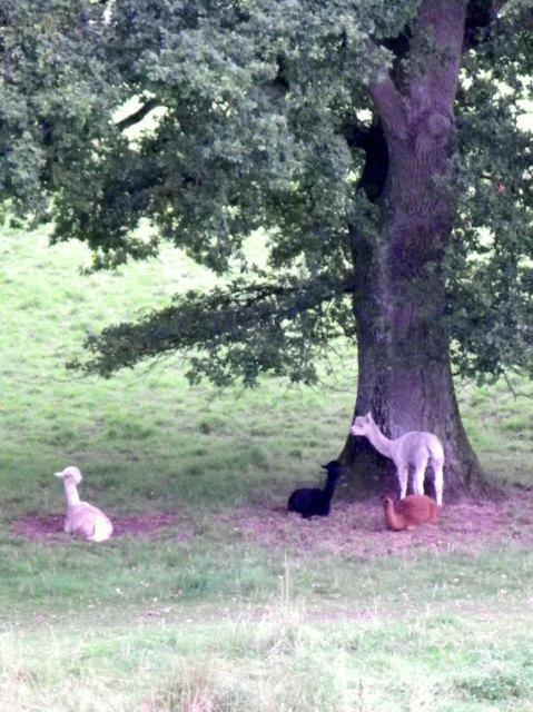 Alpaca, Fonthill Park