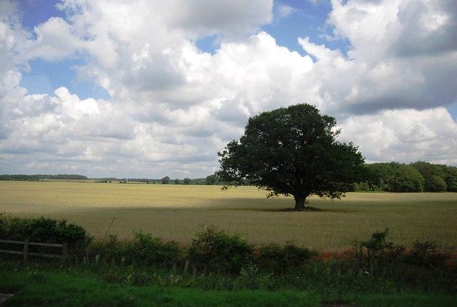 Oak tree in a wheat field