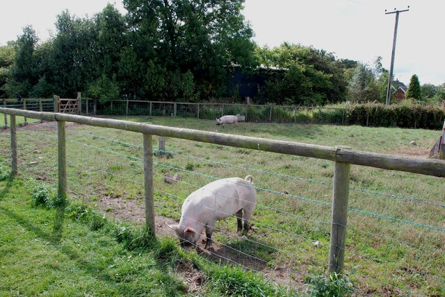 Pigs at Essington Pick your Own and Farm Shop