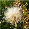 NJ4400 : Thistle Seedhead by Anne Burgess