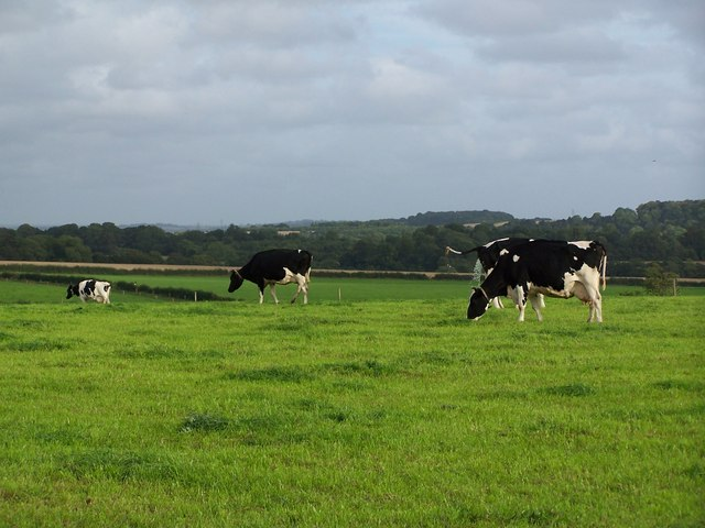 Cows grazing near Pitt Down